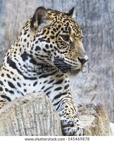 leopard and jaguar hybrid - photo #18