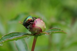 Large Linnaeus beetle crawling on a bud peony flower.Large green hard-winged insect beetle close-up  top view.Beetle, that has a metallic structurally coloured green.brilliant insect.Peony flower