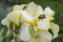 Large Linnaeus beetle crawls on a yellow flower.Large green hard-winged insect beetle close-up on a  yellow background top view.Beetle, that has a metallic structurally coloured green.brilliant insect