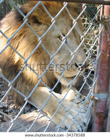 Large lion behind a cage