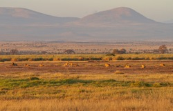 Large lion pride of ten lions resting in evening sunlight. Amboseli National Park, Kenya, East Africa. One male lion and nine lionesses. Mountains in distance