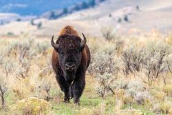 large lone male bull bison walking through mountain prairie