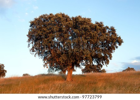 Large lone tree surrounded by blue sky