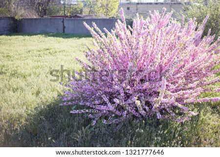 Large lush bushes of pink sakura on a sunny day. The first photos of sakura flowers in early spring.