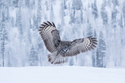Large majestic bird of prey, Great Grey Owl, Strix nebulosa with spread wings flying over snowy landscape near Kuusamo in Finland, Northern Europe