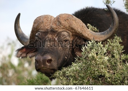 Large male African buffalo looking out from behind a tree