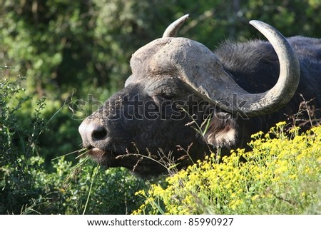 Large male African buffalo with grass stalks in it's mouth