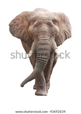large male african elephant over white