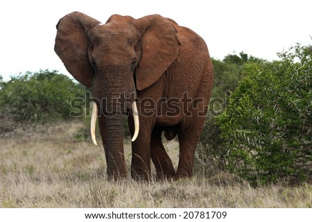 Large male African elephant with big tusks - stock photo