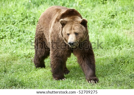 LARGE MALE BROWN BEAR ON GREEN GRASS FILED