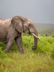 Large male elephant side on