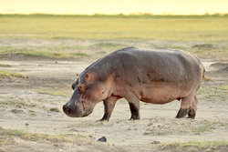Large male hippo walking on sandy soil with green grass in the backgound at Amboseli National Park in Kenya. (Hippopotamus amphibius)