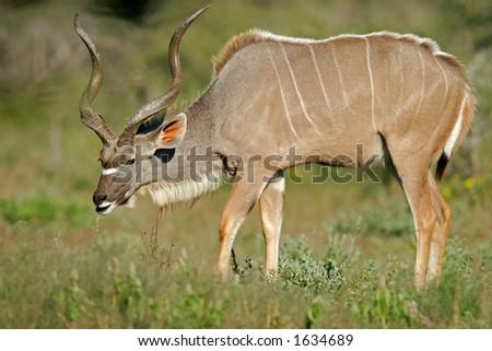 Large male Kudu antelope (Tragelaphus strepsiceros), Etosha National Park, Namibia
