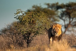 Large male lion in Kgalagadi National Park