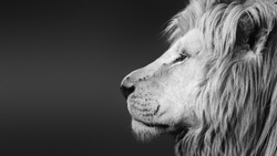 Large  male lion ( Panthera leo ) black and white facial side portrait close-up with text space.