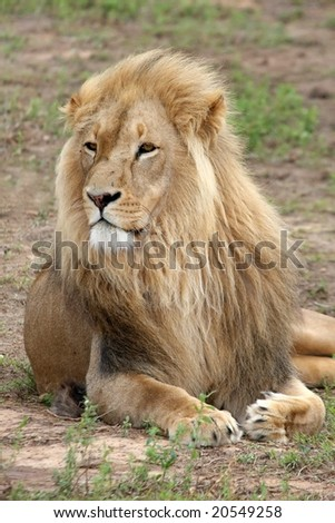 Large male lion with a magnificent mane - stock photo