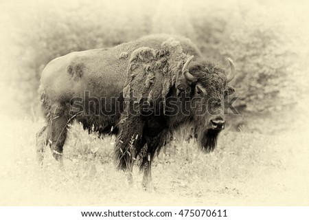 large male of bison in the...
