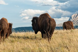 Large Male Plains Bison looks back, as the herd moves toward a quieter area of the paddock near Waterton National Park Alberta Canada