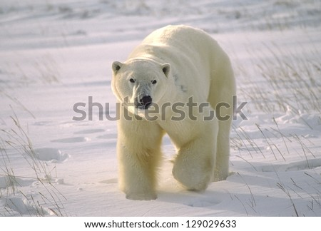Large male polar bear on Arctic tundra
