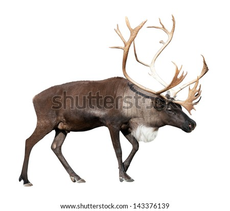 Large male reindeer. Isolated over white