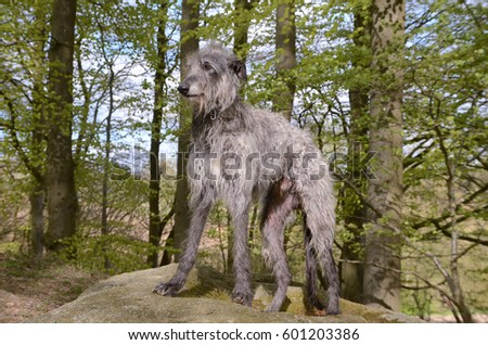 Large male Scottish Deerhound stands on a stone in a spring green beech forest.  #601203386