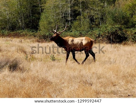 Large male tule elk deer with antlers spotted at San Luis National Wildlife Refuge in Central California