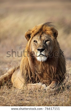 Large-maned lion male, Serengeti National Park, Tanzania