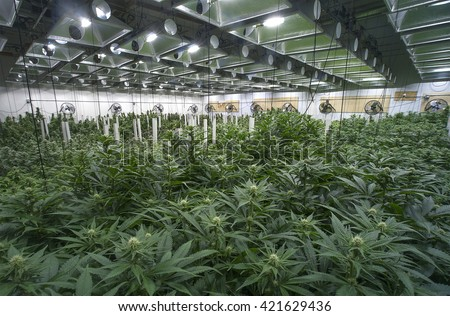Large marijuana grow operation, commercial Cannabis business