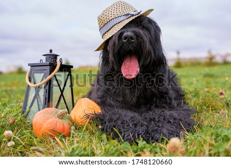 Photo of Large massive dog lying on grass in Park, is candlestick, pumpkins. Autumn photo of walking pet on field. Horizontal picture of animal. Free space for text and advertising. wears hat sticks out tongue