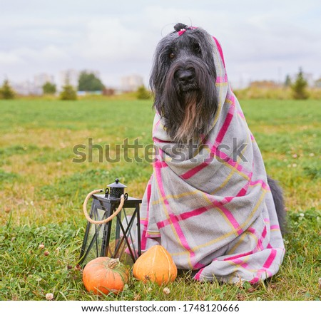 Photo of Large massive dog wrapped in plaid blanket, sitting on grass in Park, is candlestick, pumpkins. Autumn photo of walking pet on field. Horizontal picture of animal. Free space for text and advertising.