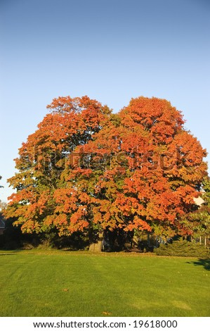 Large, mature maple tree with colorful foliage in park setting