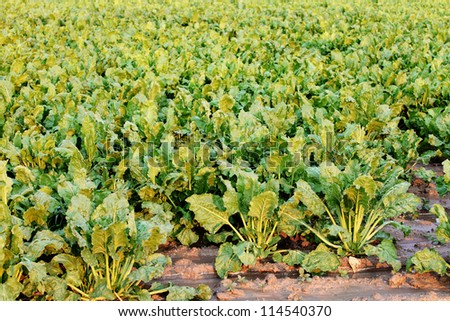 Large mature sugar beets growing in the field ready for harvest