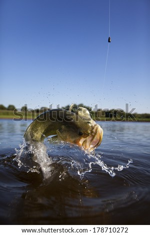 Large mouth or bigmouth bass jumping out of the water.