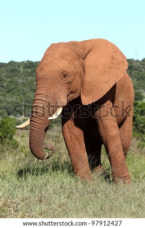 Large mud covered male African elephant eating vegetation