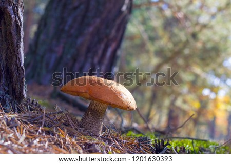 Large mushroom grow in forest. Leccinum growing in wood. Beautiful edible autumn raw bolete