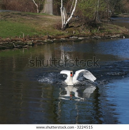 large mute swan landing in water