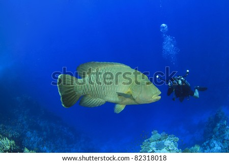 Large Napoleon Fish and Underwater Photographer