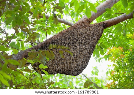 Large natural beehive hanging from a tree