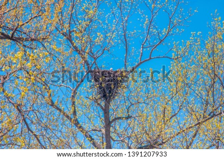 large nest of an Osprey hawk on a tree with blue sky background