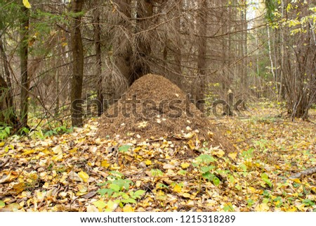 Large nest under the old tree. Anthill in the autumn forest, fallen yellow leaves.