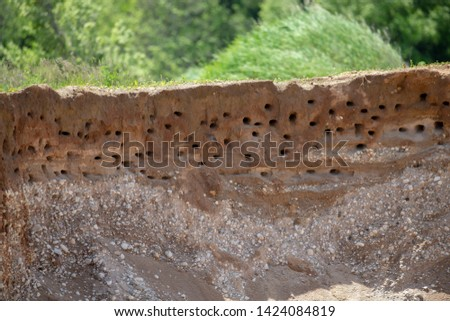 Large nesting area Bank Swallow (Riparia riparia)  Burrow in earthen bank