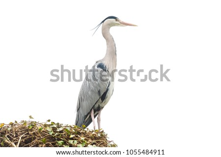 large nesting grey heron bird isolated on a white background