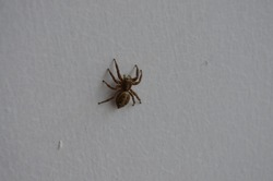 Large nocturnal spider, Araneus ventricosus, is a common orb-weaving spider. India summer season. Araneidae family Araneoidea superfamily. Arachnida Chelicerata Arthropoda.