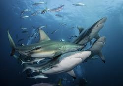 Large number of oceanic black tip sharks at South Africa's Aliwal Shoal dive site.