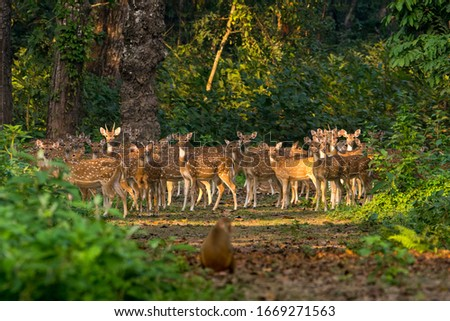 Large number of Spotted Deers at Chitwan National Park, Nepal Stok fotoğraf ©