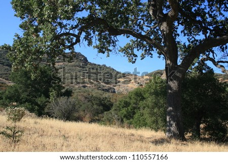 Large oak tree and an open field, California