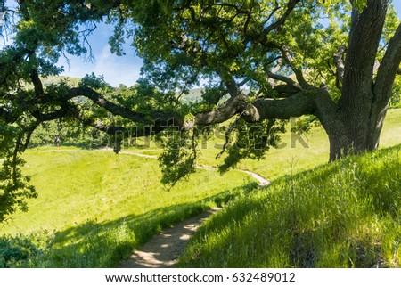 Large oak tree providing shade, Sunol Regional Wilderness, San Francisco bay area, California Stockfoto ©