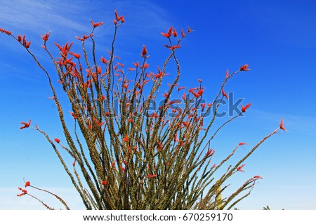 Large Ocotillo cactus with red blooms and blue sky copy space in Organ Pipe Cactus National Monument in Ajo, Arizona, USA which is a short drive west of Tucson.\n