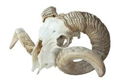 large old ram skull over white background