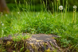 Large old tree stump covered with moss and green grass in summer forest.